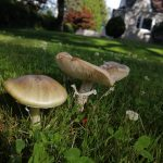 Death Cap Mushroom, Vancouver Island, BC