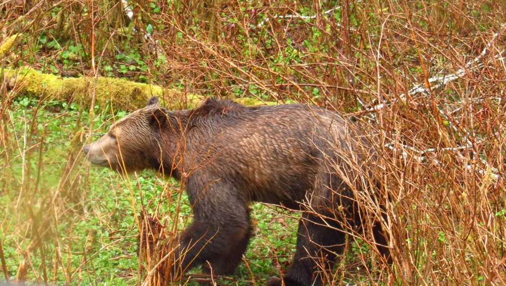 Grizzly Bear, North Vancouver Island