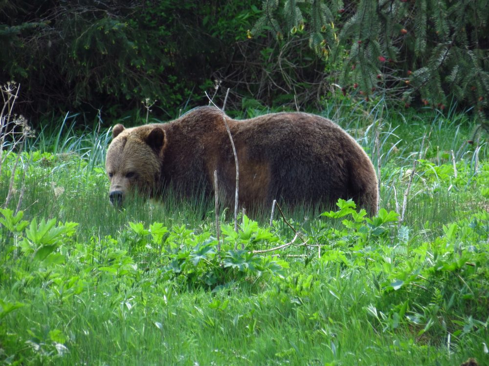 Grizzly Bear, North Vancouver Island, BC