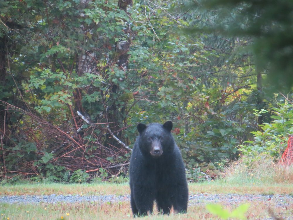 Black Bear, Conuma Fish Hatchery, Vancouver Island, BC