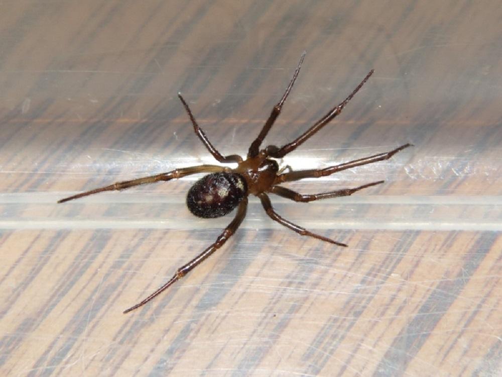 Callobius Severus Spider, Vancouver Island, BC