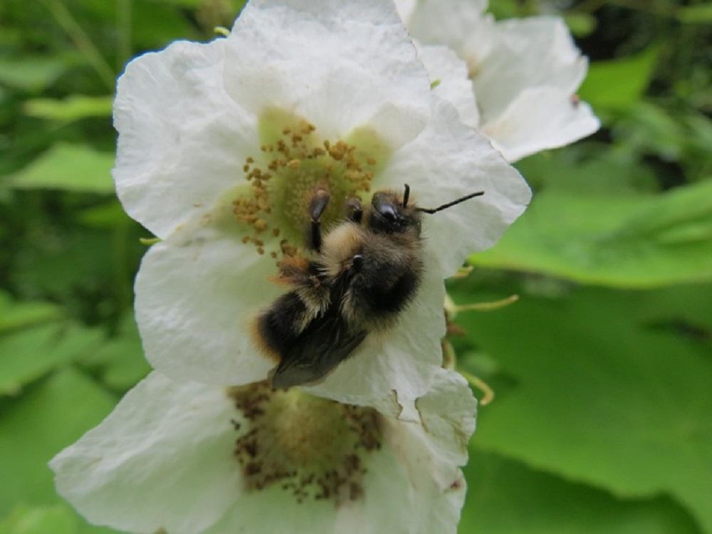 bombus occidentalis bumblebee, Vancouver Island, BC
