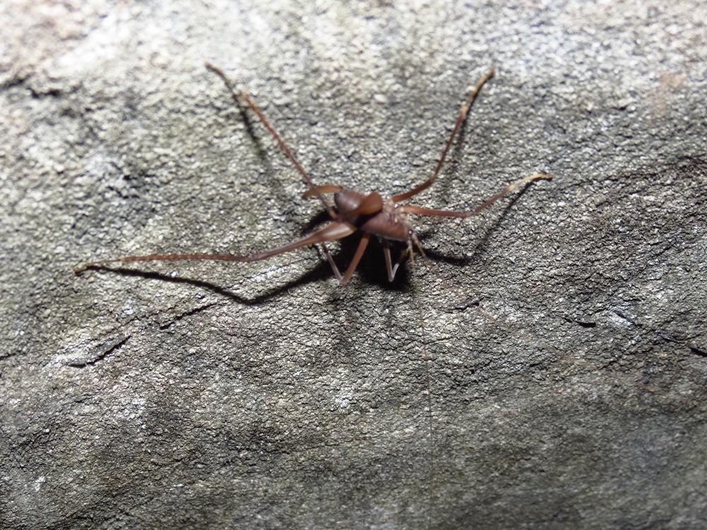 Cave Cricket, Vancouver Island, BC