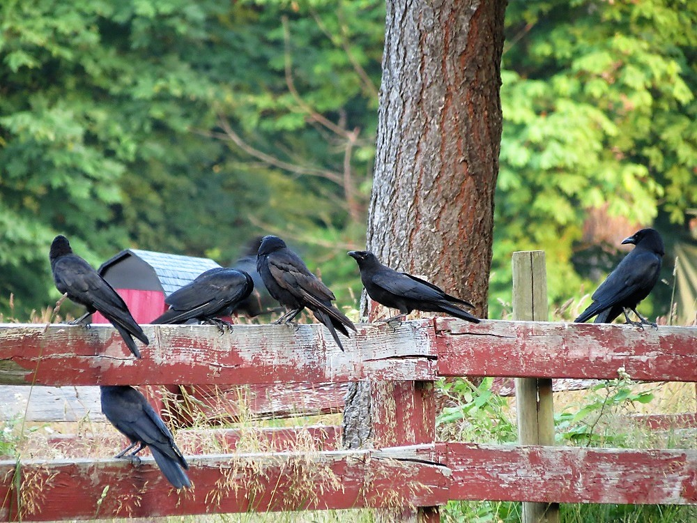 Northwestern Crow, Vancouver Island, BC