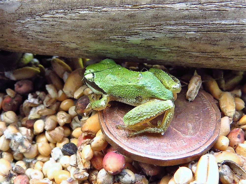 Green Tree Frogs, Vancouver Island, BC