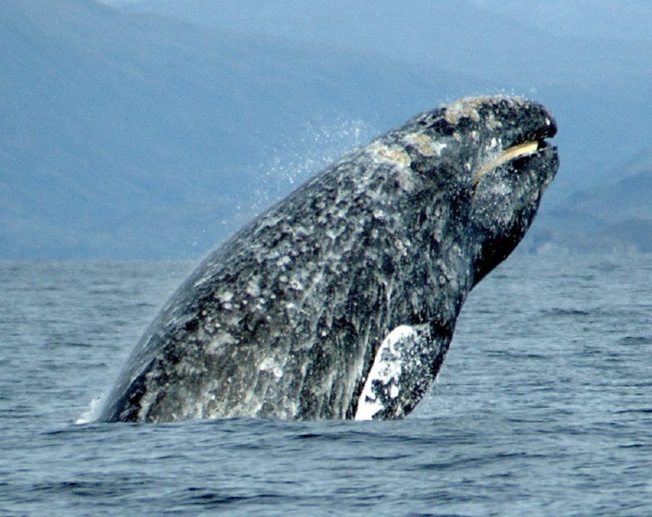 Gray Whale, Vancouver Island, BC