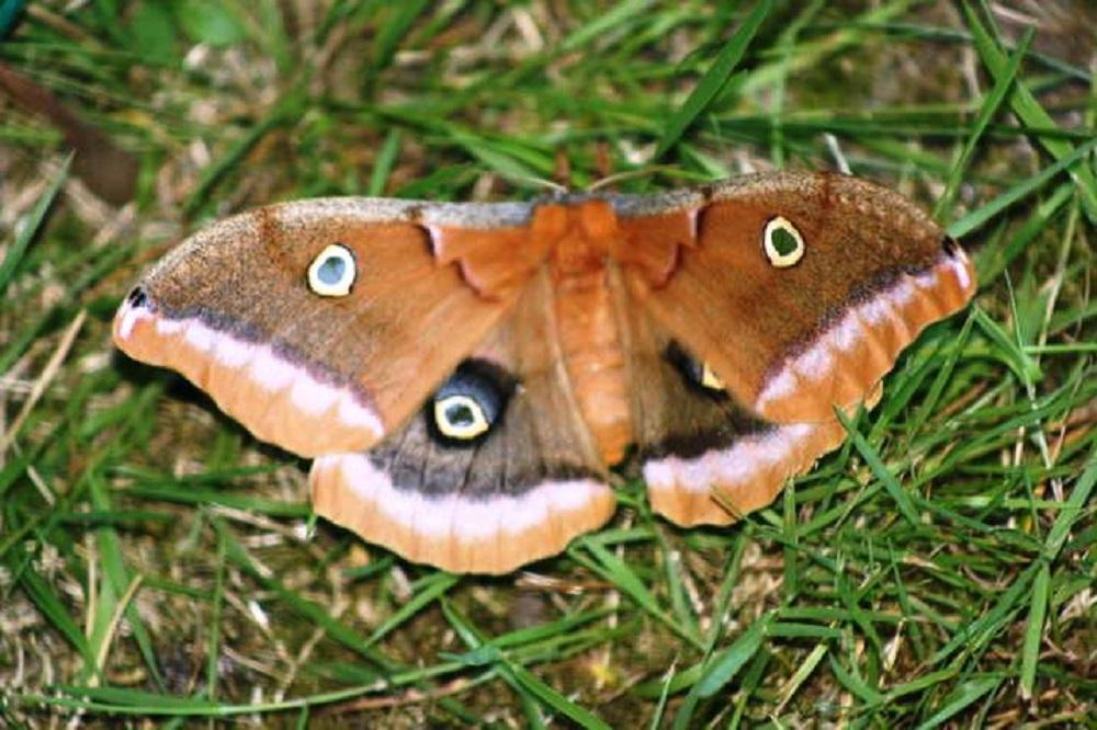 Owl Eyed Moth, Vancouver Island, BC