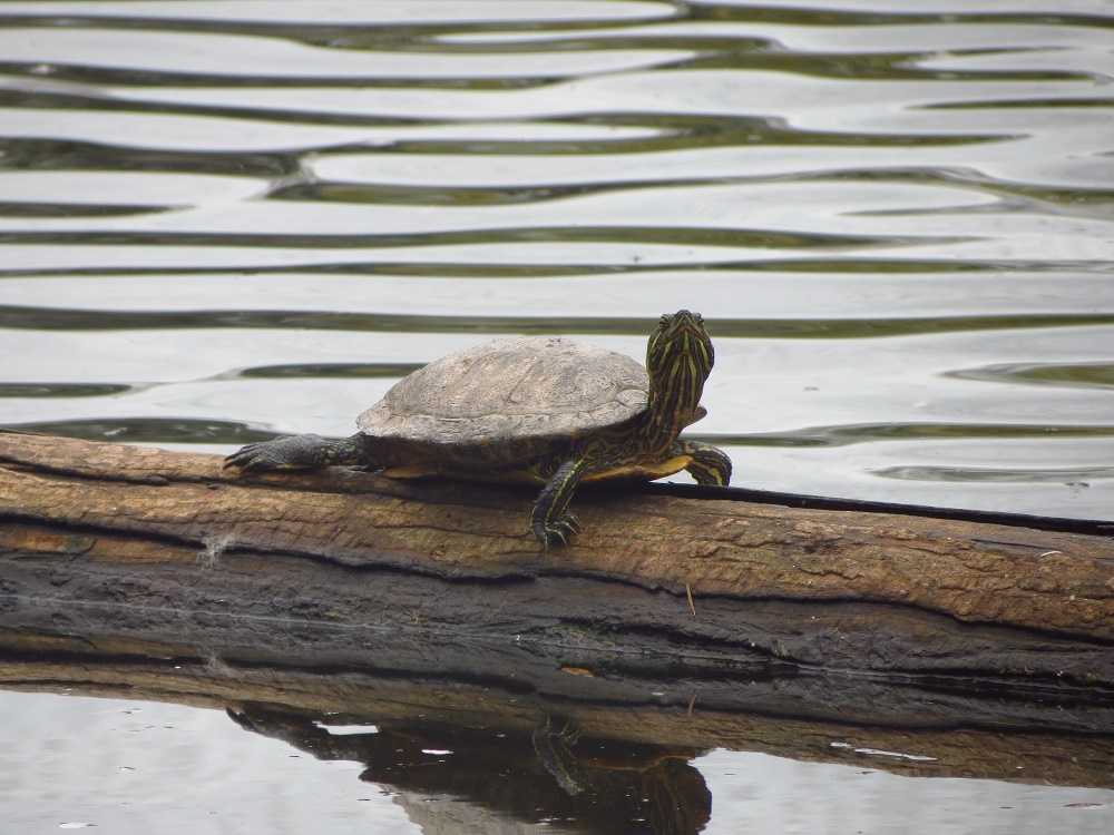 Red Eared Slider Turtle, Vancouver Island, BC