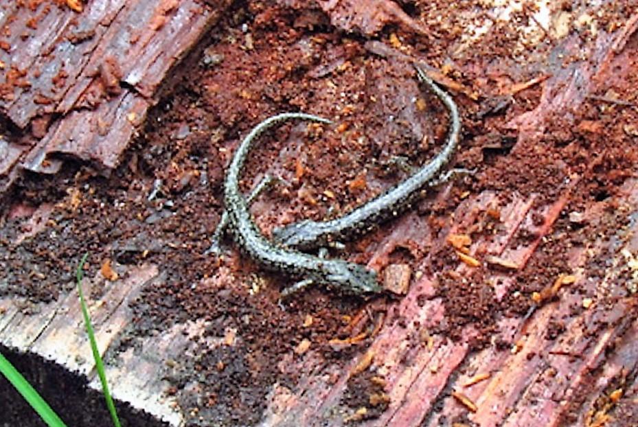 Wandering Salamander, Vancouver Island, BC