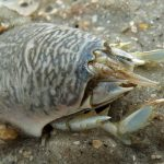 Mole Crab, Vancouver Island, BC