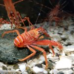 Squat Lobster, Vancouver Island, BC