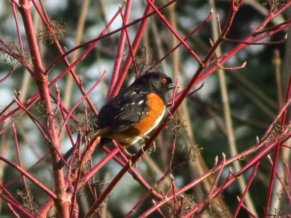 Spotted Towhee, Vancouver Island, BC