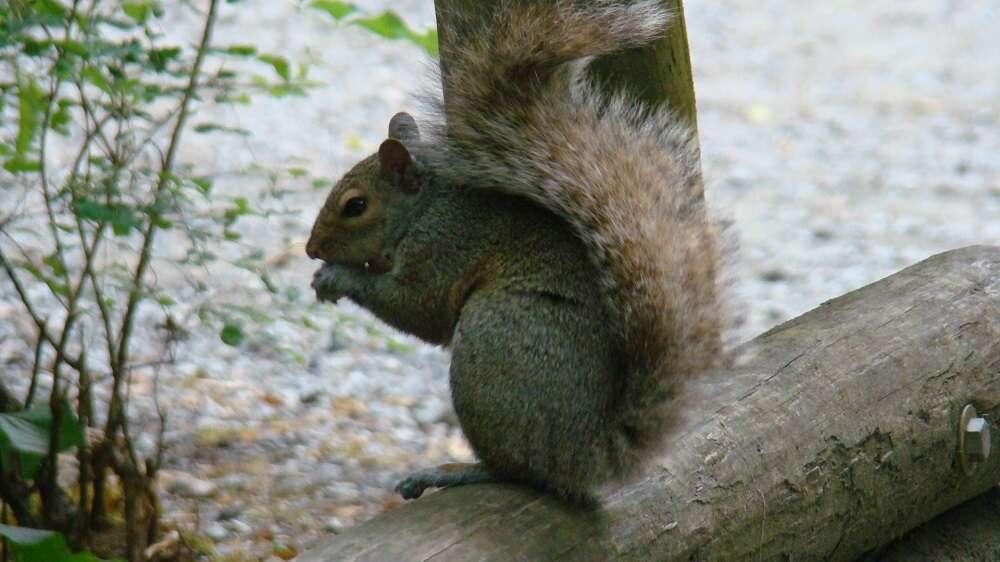 gray Squirrel, Vancouver Island, BC