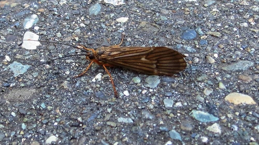 Caddisfly, Vancouver Island, BC
