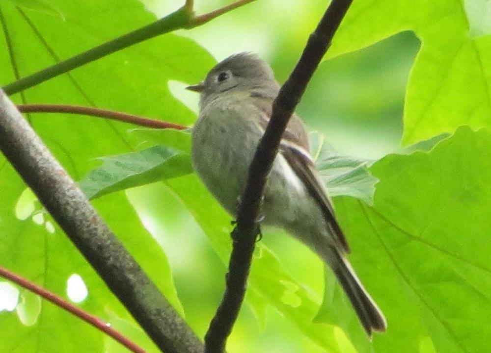 Olive Sided Flycatcher, Photo By Bud Logan