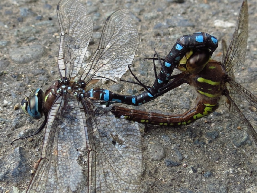 Paddletail Darner Dragonfly, Vancouver Island, BC