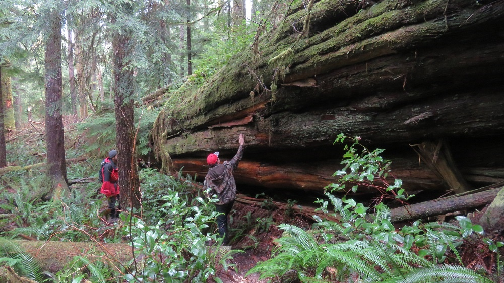 Giant Red Cedar, Vancouver Island, BC