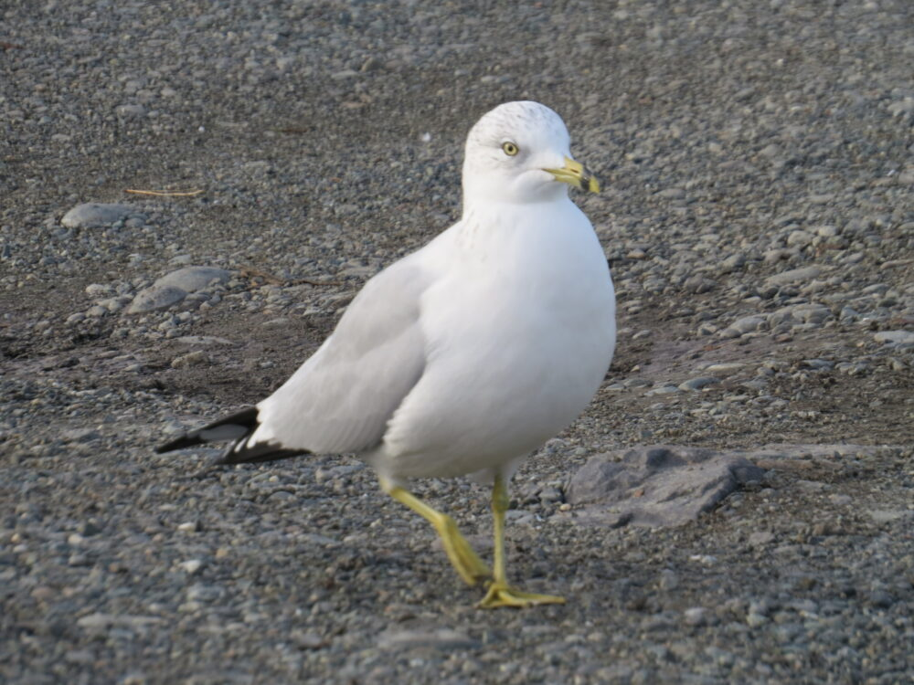 Ring Billed Gull, Vancouver Island, BC